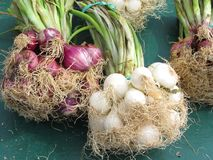 Spring Onions. Bunches of spring Onions Stock Photography
