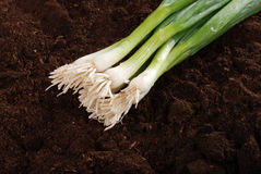 Spring onions in garden soil Stock Photography