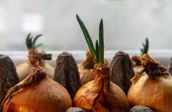 Spring onions growing in a carton egg box on the windowsill. Close up stock photos
