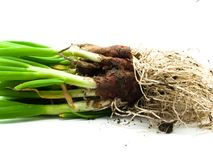 Spring onions with root Stock Images