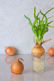 Spring onions with roots in a glass of water. Three onions on th Royalty Free Stock Photography