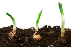 Spring onions in soil Stock Photo