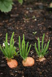 Spring Onions in Soil Stock Photography