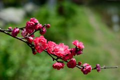 Blooming wildflowers. In spring, an open peach blossom. It was taken in Wuhan Liberation Park Royalty Free Stock Photo