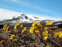 Spring in Oppdal. The first flowers are coming up against cold, hard soil, after the snow slowly is melting after a long winter. This photo is taken on Oppdal, a Stock Photography