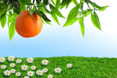 Spring Orange Stock Photography