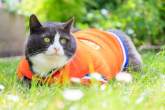 Spring orange chubbiness. Random image of a fat cat dressed as soccer player for the dutch national team relaxing in the garden in spring in the Netherlands stock photos