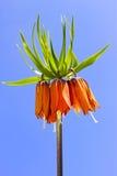 Spring orange flower Royalty Free Stock Images