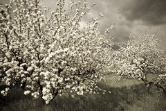 Spring orchard 2 Stock Photo