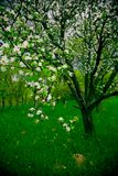 Spring Orchard. Blooming plum tree, green grass Royalty Free Stock Images