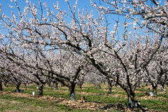 Spring orchard. Fruit orchard's first spring blossoms Royalty Free Stock Image