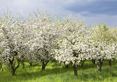 Spring orchard Royalty Free Stock Image