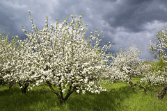 Free Spring Orchard Stock Photos - 8628623