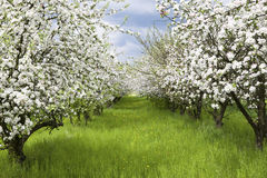Free Spring Orchard Royalty Free Stock Photography - 9112987