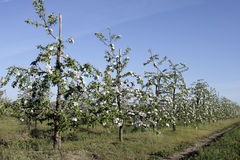 Spring in the orchard. Blooming in spring in the orchard of the tree fruit Royalty Free Stock Photo