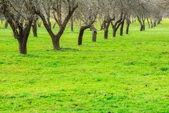 Spring orchard alley in warm sunny day Royalty Free Stock Image