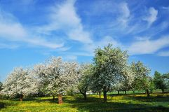 Spring orchard Stock Photography