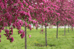 Spring Orchard Stock Photos