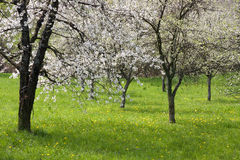 Spring orchard blossom Stock Photography