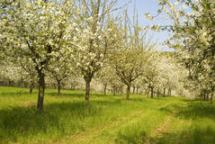 Spring orchard cherry tree  Royalty Free Stock Photos