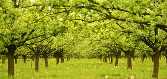 Spring in the orchard. Green trees in orchard on springtime Stock Images