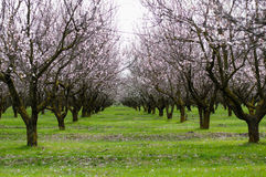Spring orchard. With pink flowers Royalty Free Stock Images