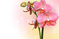 Spring orchid Stock Photography