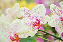 Spring orchid flowers Stock Photography