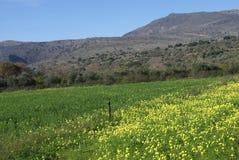 Spring Oxalis pes caprae flowers growing in a Mediterranean field. Royalty Free Stock Images