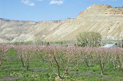 Spring in Palisade. Spring peach orchard in Palisade, Colorado with pink blossoms and a bluff in the background Royalty Free Stock Image