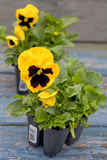 Spring Pansies Royalty Free Stock Photos