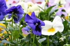 Spring pansies Stock Image
