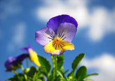 Spring Pansies royalty free stock images