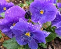Spring pansies Stock Images