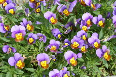 Spring pansy Stock Images