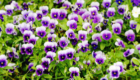 Spring pansy Stock Image