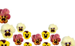 Spring pansy flower border with white copy space. Spring pansy flower border isolated on white copy space background Stock Photos