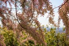 Spring in Paris. Pink flowers, park Royalty Free Stock Image