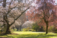Spring In The Park. Christchurch, New Zealand, blossom trees turn Hagley Park into a fairyland Stock Photo