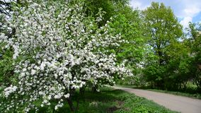 Spring park with blooming apple tree. Spring park with a  blooming apple tree stock video footage