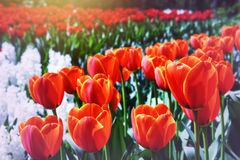 Spring park with blossoming red tulips Royalty Free Stock Image