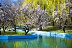 Spring in a park / cherry blossom Stock Photos