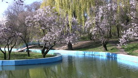 Spring in the park. Cherry blossoms and willow stock video