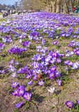 Spring in a park, crocus flowers field Royalty Free Stock Photo