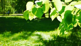Spring Park, flooded with sun. Abstract background - young foliage on a tree in the background of a forest glade stock video footage
