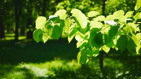 Spring Park, flooded with sun. Abstract background - young foliage on a tree in the background of a forest glade stock footage