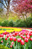 Spring park with multicolor tulips. Keukenhof garden, Netherland Stock Photography