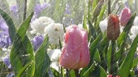 Water over tulips in garden rain or sprinkler. Spring park scene with rain over beautiful tulips in luxury garden - watering flowers artificial or natural rain stock footage