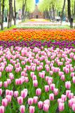 Spring park, tulips in foreground Royalty Free Stock Photos