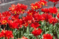 Spring in the park, Tulips are red. Closeup photo of red tulip c stock photography